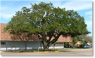 The landmark Live Oak tree in the center of Texas AVE.